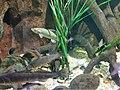 Cypriniformes - Vimba vimba - 1.jpg