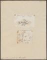 Cyprinodon variegatus - 1700-1880 - Print - Iconographia Zoologica - Special Collections University of Amsterdam - UBA01 IZ14800137.tif