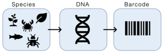 DNA barcoding Method of species identification using a short section of DNA