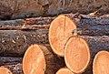 DSC 8488 Monticole de roche Monticola saxatilis (50181630942).jpg