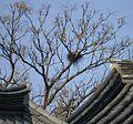 Daegu hyanggyo magpie nest.jpg
