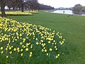Daffodils on Victoria Embankment - geograph.org.uk - 1232406.jpg