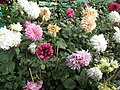 Dahlia from lalbagh 1928.JPG