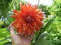 Dahlia hybriden 00.1 R.jpg
