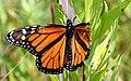 Damaged Male Monarch Butterfly (43299272534).jpg