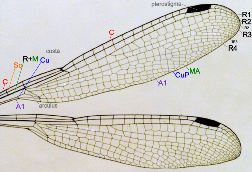 Damselfly wing structure