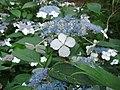 Daniel Fuchs.CC-BY-SA.Hydrangea macrophylla.JPG