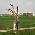 Danków uschnięte drzewo frament wsi 30.04.11 p.jpg
