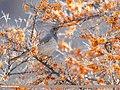 Dark-throated Thrush (Turdus ruficollis) (49184699093).jpg
