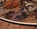 Dark Evening Brown Melanitis phedima by Dr. Raju Kasambe DSCN5881 (3).jpg