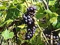 Dark grape (pogórze bukowskie).jpg
