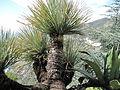 Dasylirion acrotrichum.jpg