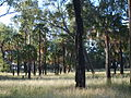 Dawson palms at Lake Murphy Conservation Park.jpg