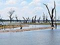 Dead Wood in the Udawalawe National Park.jpg