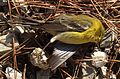 Dead bird in Tombigbee National Forest.JPG
