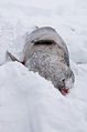 Dead seal in the snow.jpg