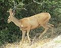 Deer on BYU campus (30016008858).jpg
