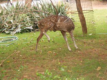 Deer preening itself in Guindy National Park.jpg