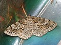Deileptenia ribeata - Satin beauty - Дымчатая пяденица еловая (40214548104).jpg