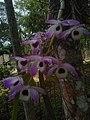 Dendrobium ভাটো ফুল.jpg