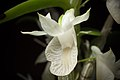 Dendrobium trinervium (Indo-China or Malaysia) Ridl., J. Linn. Soc., Bot. 32- 242 (1896) (26808208339).jpg