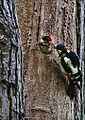 Dendrocopos major -London, England -male feeding chick-8.jpg