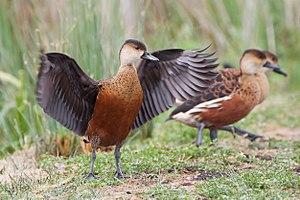 Wandering whistling duck - Wandering whistling duck