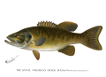 Denton Smallmouth Bass 1896.png