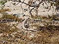 Desert Iguana (Dipsosaurus dorsalis); Cholla Cactus Garden - 12489017453.jpg