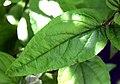 Deutzia ningpoensis 02.jpg