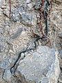 Diadophis punctatus Big Bend.JPG
