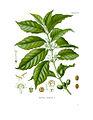 Diagram of Coffea arabica.jpg
