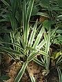 Dianella ensifolia at Wayanad (6).jpg
