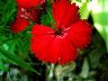 Dianthus - 10.jpg
