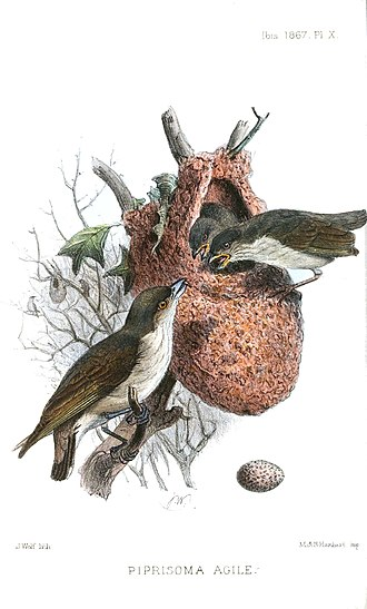 Thick-billed flowerpecker - Illustration of nest by Joseph Wolf