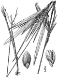 Dichanthelium oligosanthes (as Panicum oligosanthes) BB-1913.png
