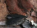 Dichomeris latipennella (27012705618).jpg