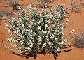 Dicrastylis verticillata-Atlas-2.JPG