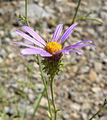 Dieteria canescens var canescens 10.jpg