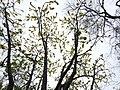 Dillenia pentagyna flowering by Dr. Raju Kasambe DSCN1362 (23).jpg