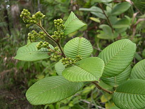 Flora of Belize - ''Curatella americana'', the Sandpaper Tree of the pine forest.