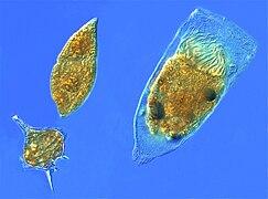 Dinoflagellates and a tintinnid ciliate