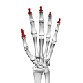 Distal phalanges of the hand (left hand) 01 palmar view.png