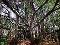 Dodda Aladha Mara 1.jpg