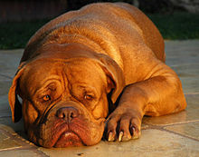 Dog De Bordeaux Rescue California