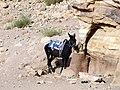 Donkey in Petra, Jordan - October 2009 (4053818514).jpg