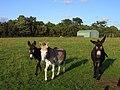 Donkeys in pasture, Padworth - geograph.org.uk - 1560598.jpg