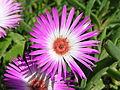 Dorotheanthus bellidiformis-P9200031.jpg