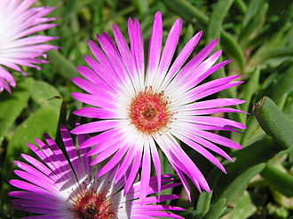 West Coast National Park - Image: Dorotheanthus bellidiformis P9200031