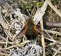 Dotted Beefly. Bombylius discolor (49109656737).jpg